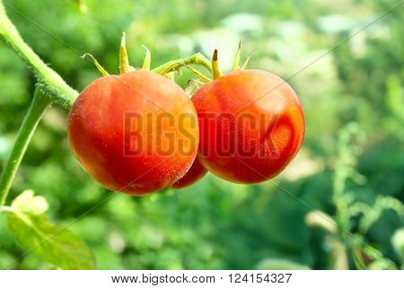 Red tomatoes with green leaves on the vine ** Note: Shallow depth of field