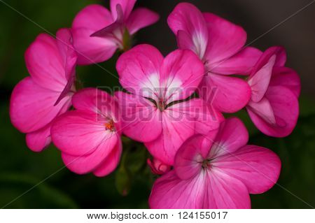 A cluster of pink and white Geranium flowers ** Note: Shallow depth of field
