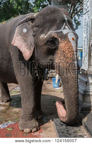 TRICHY INDIA - OCTOBER 15 2013: Amma Mandapam sanctuary along Cauvery River. Frontal closeup of the holy elephant that blessed visitors to the temple. The elephant represents Lord Ganesha. poster
