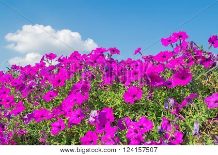 Beautiful Petunias flowers Petunias in garden with blue sky.