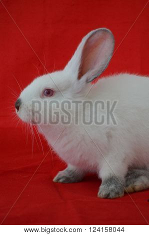 Breed Californian rabbit-rabbit on a red background
