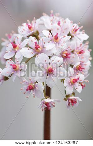 ndian Rhubarb, Darmera peltata, flowers of the garden ** Note: Shallow depth of field