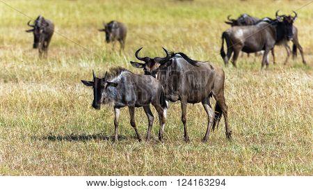 Grazing Blue Wildebeests in Norther Serengeti, Tanzania