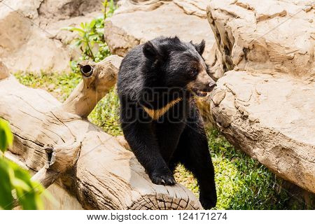 asiatic black bear near the pool And timber poster