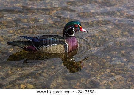 Beautifull male wood duck on the water in a lake along