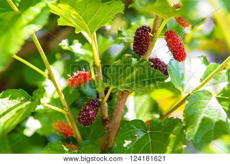 Fresh mulberry fruit on their tree in the garden
