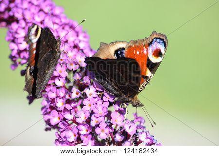 a Peacock (Inachis io) suck the nectar