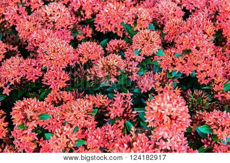 Ixora red flowers on the bed of garden
