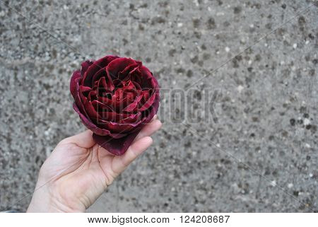 Burgundy Rose in a Hand on the Gray Spotted Background Hand with a Burgundy Rose as a Gift to express feelings or donate to loved once with appropriate words