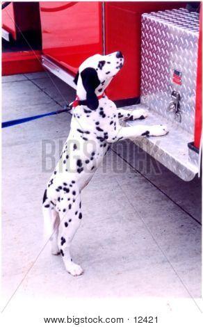 Firehouse Dalmatian