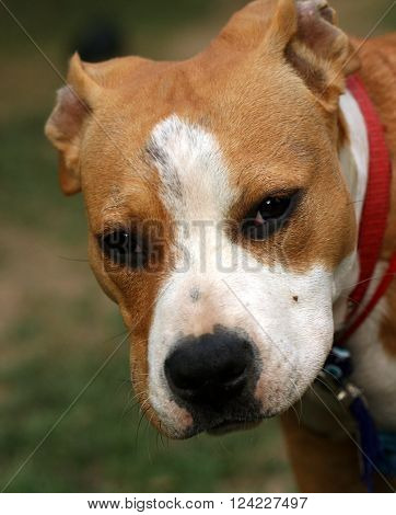 picture of an american stafordshire terrier dog