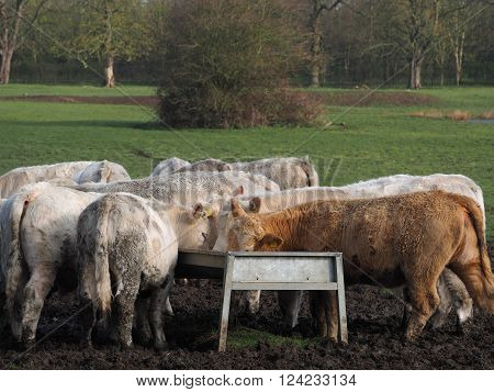 Group of cattle feeding from a trough in a field