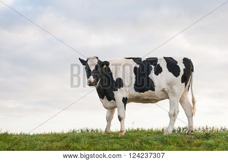 Black spotted heifer stands gazing on top of a embankment with a few blades of grass in her mouth.