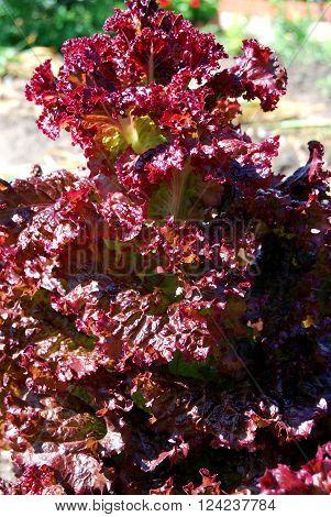 Salat lolo-rossa Omsk region Siberia Russia june 2015