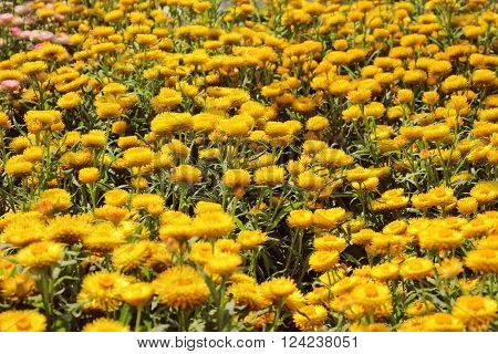 A Beautiful Yellow Helichrysum Flower Background Texture