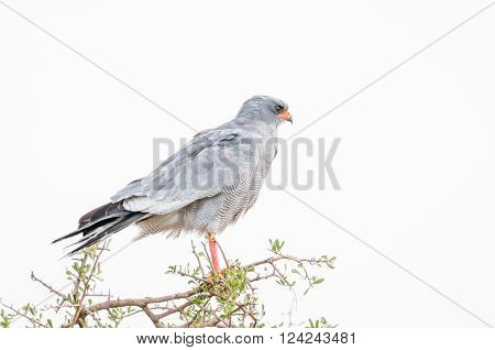 A Southern Pale Chanting Goshawk Melierax canorus on a tree