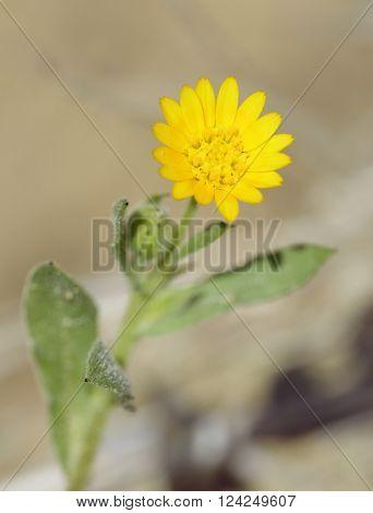 Field Marigold - Calendula arvensis Yellow Wild Flower