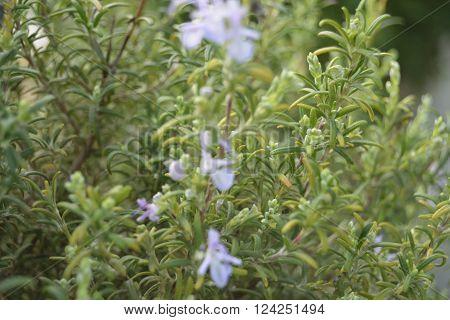 Planta de alecrim em plena primavera com flor