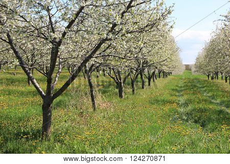 An orchard in full bloom near Traverse City, Michigan.