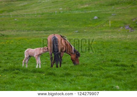 Brown Horse and Her Foal in a Green Field of Grass ** Note: Soft Focus at 100%, best at smaller sizes