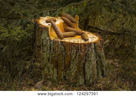 Fir cones lie on the stump in the spring forest. Around the brushwood of the fir grove ** Note: Soft Focus at 100%, best at smaller sizes