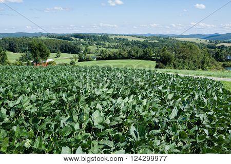 A field of soybean crop nearing harvest.