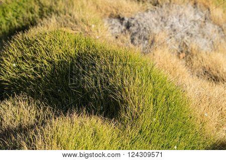 Line Of Korean Grass