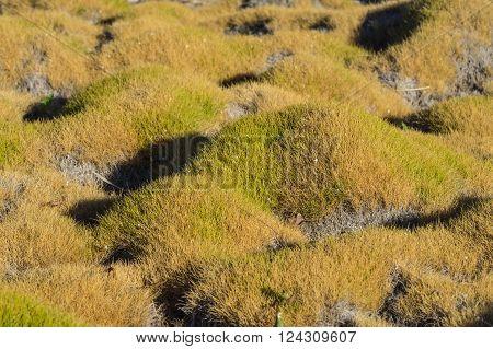 Decorative Korea grass grows in a local California garden