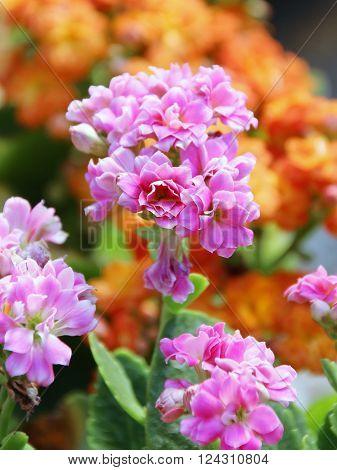 Closed Up Flaming Katy Flower - Kalanchoe Blossfeldiana