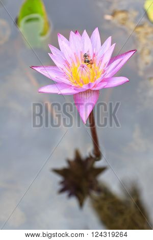 Beautiful flower in asia purple lotus flower, lotus flower concept, lotus flower asian, lotus flower isolated, lotus flower nature, lotus flower buddhism, lotus flower background.