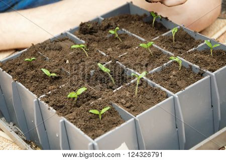 Tomato green young sprout in seedling cells