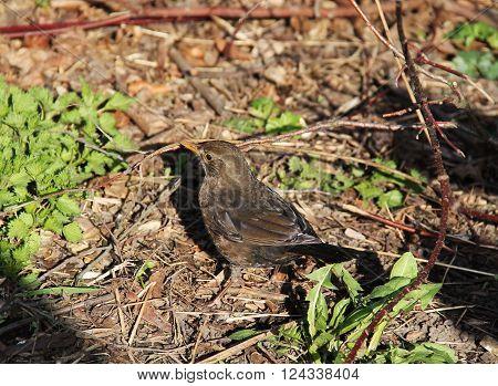 blackbird female (Turdus merula) on the ground