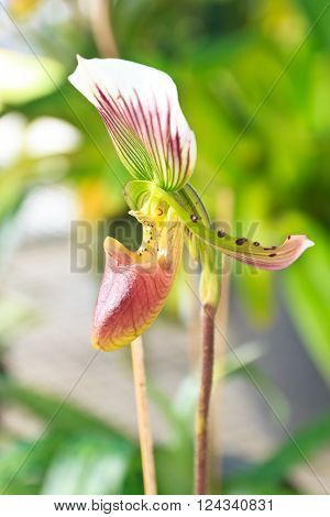 The Beautiful nepenthe tropical carnivore plant flower.