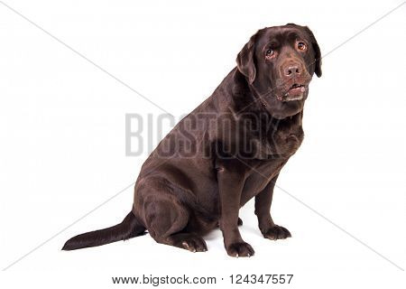Sad chocolate labrador dog girl is isolated on the white background
