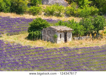 Old barn and rows of a beautiful purple lavender field near town of Sault. Provence, France