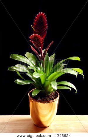 Bromelia In A Golden Pot