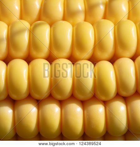 Closeup of ripe yellow corn kernels set in neat rows. Textured background. Organic agriculture raw materials ingredients and food industry concept.