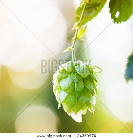 Close-up of common hop cone in soft light ripe for picking and used as raw material for beer production (Humulus lupulus). Organic clean agricultural industry beer production raw materials concept.