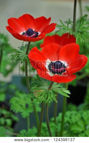 Two beautiful red and white poppy flowers