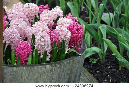 Wooden barrel planter filled with beautiful pink hyacinth flowers in spring