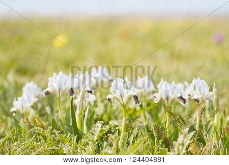 green field with wild irises