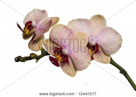 Phalaenopsis Orchid Isolated On White