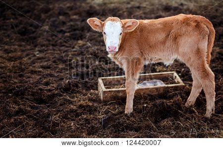 Brown calf in the middle of the feedlot manure, next to the tub for water copy space for your text. ** Note: Visible grain at 100%, best at smaller sizes