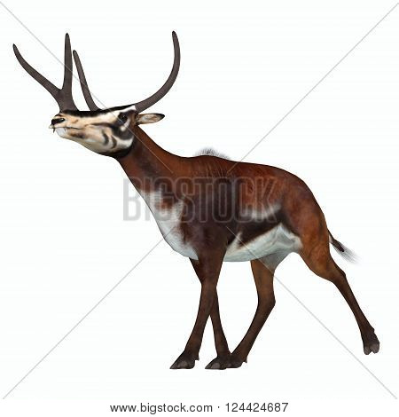 Kyptoceras on White 3D illustration - Kyptoceras was a antelope type mammal that lived in North America during the Miocene to Pliocene Periods.