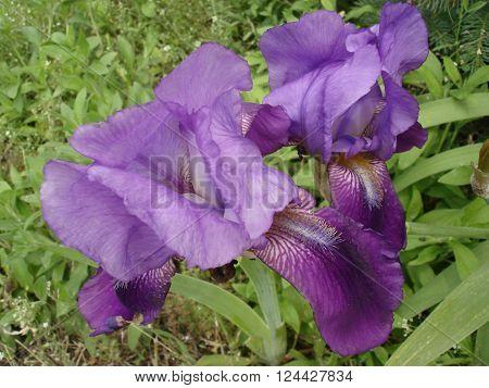 Iris germanica flowers, Iris germanica flowers, Iris, Belamcanda, Hermodactylus, Iridodictyum, Juno, Junopsis, Pardanthopsis, Xiphion, 'Amethyst Flame'