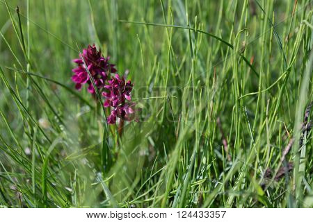 Orchis mascula or early purple orchid growing on the Isle of Harris, Outer Hebrides, Scotland