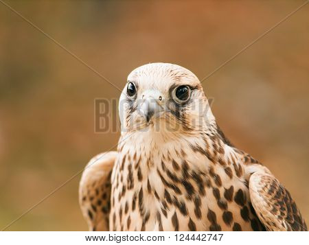 Head of saker falcon - falco cherrug ** Note: Soft Focus at 100%, best at smaller sizes
