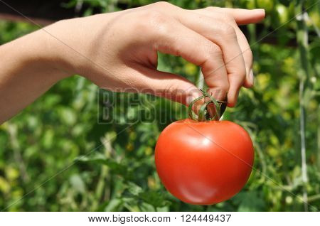 women's arm holding red ripe tomato in the tips
