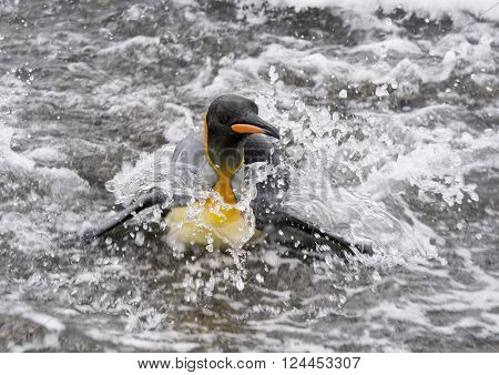 King Penguins in the water in South Georgia