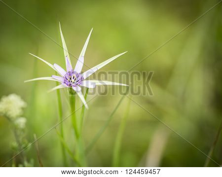 Tragopogon hybridus wild flower in the countryside on a green background